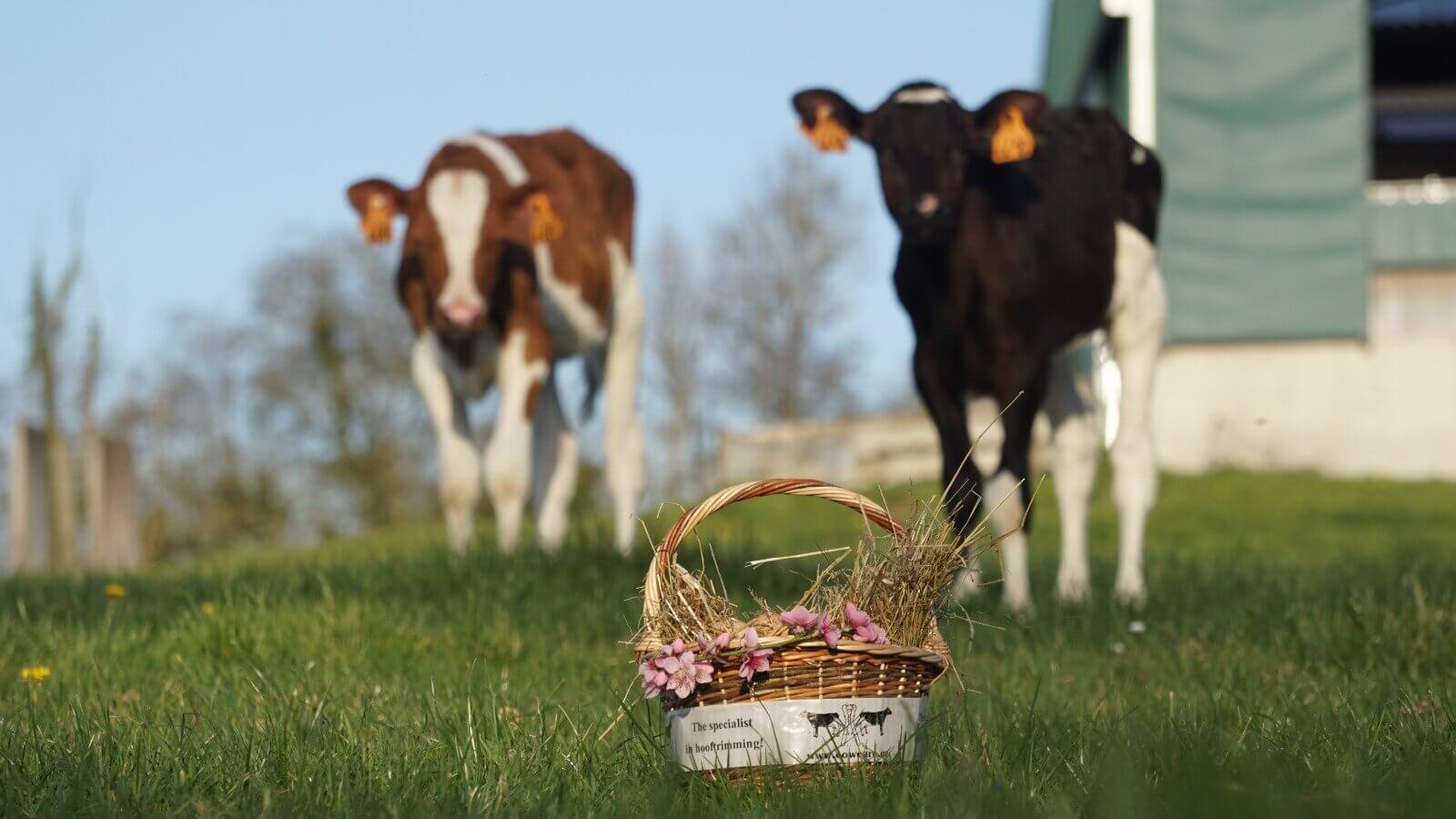 Easter calf