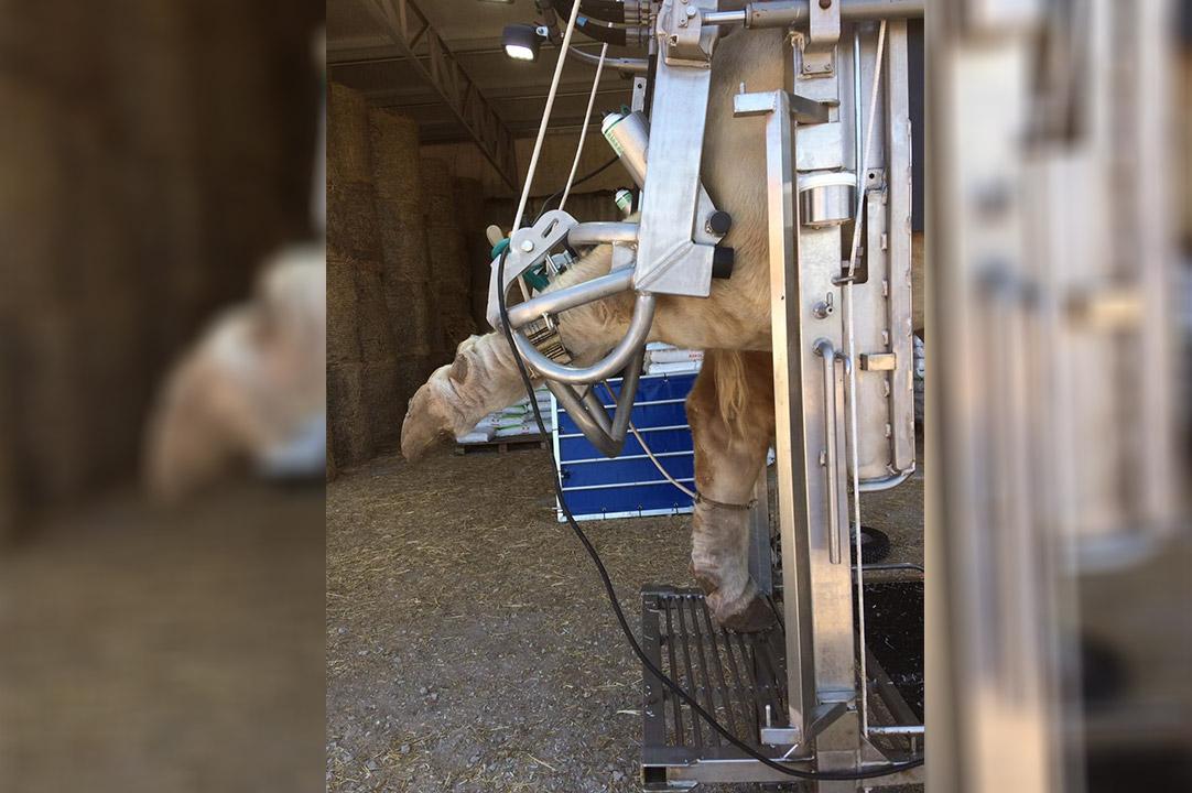 hoof-trimming-chute-anka-crush-pro-for-bulls-4